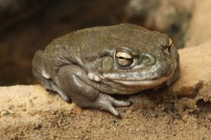 Colorado river toad (Incilius alvarius).