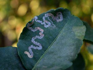Leafminer Diseases