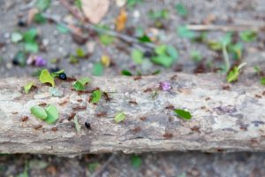 Leafcutter Ant Army