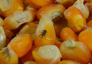 Corn maize weevil feeding corn seed