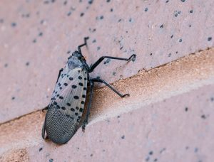 Spotted lanternfly crawls up brick building, Berks County, Pennsylvania