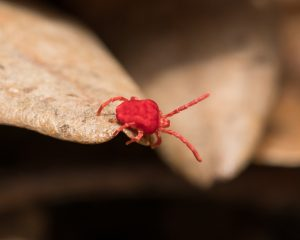 Red Clover Mite crawling over brown foilage
