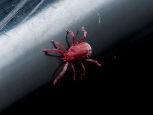 Tiny Red Velvet Mite on desk