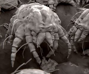 Cheyletiella mite