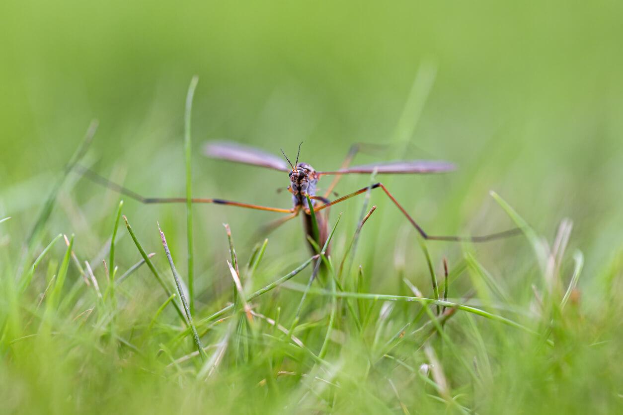 Crane fly infestation | PEST CONTROL CHEMICALS 800-877-7290