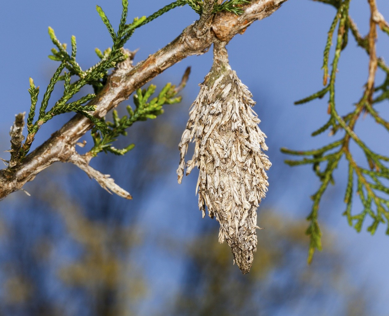 bagworm control and treatment for the yard and garden plants
