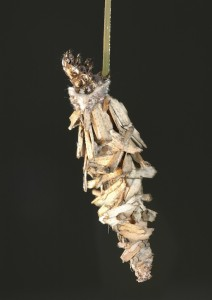 BAGWORM LARVAE IN BAG