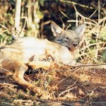 Fox in leghold trap