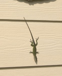 GECKO LIZARD ON HOUSE