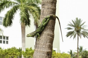 GREEN IGUANA ON TREE