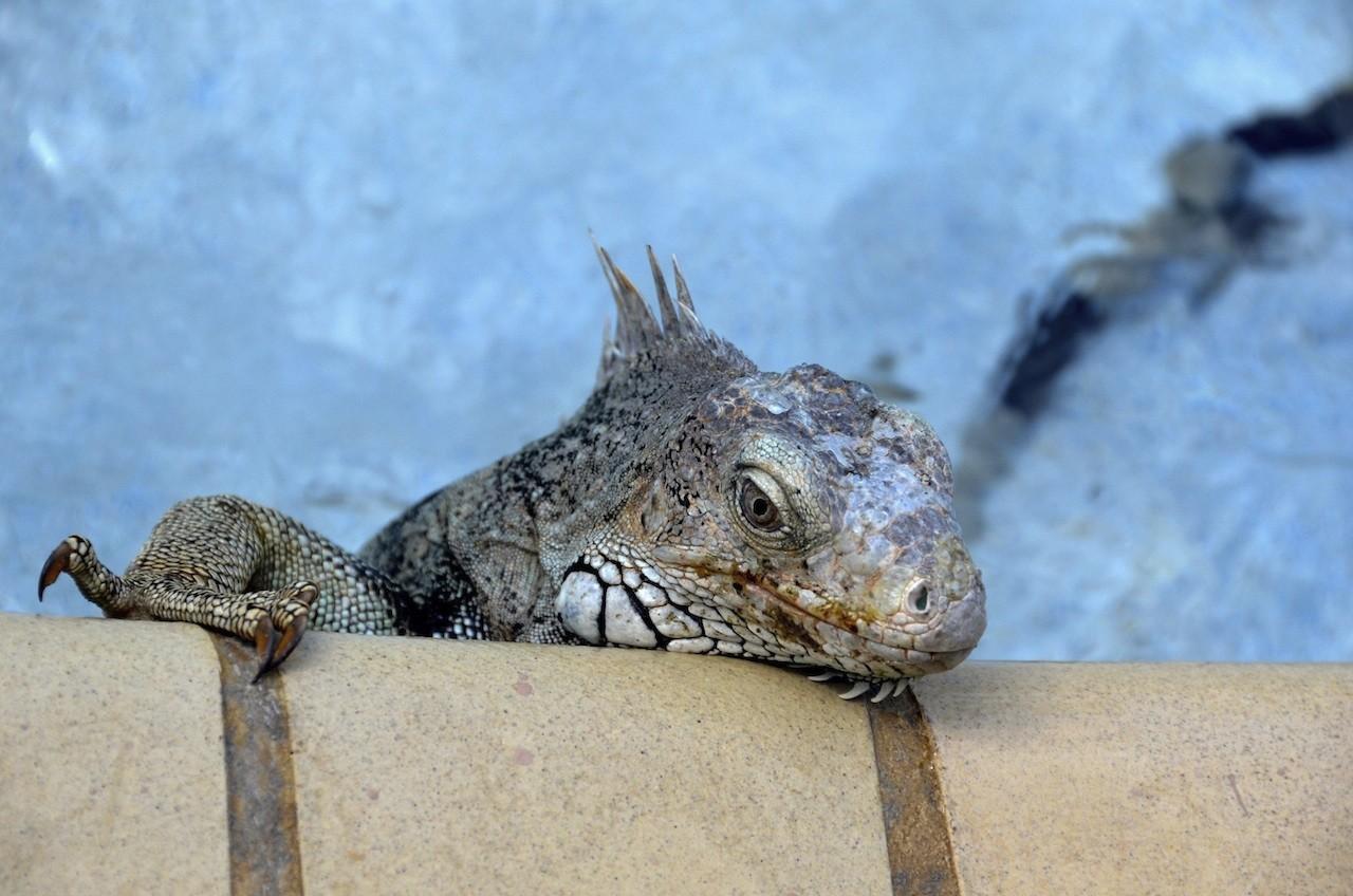 Iguana control and repellent treatments for the home yard