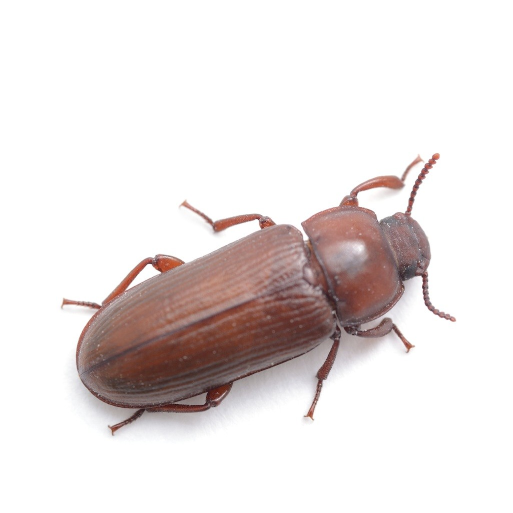Red Flour Beetle In Bedroom | www.looksisquare.com