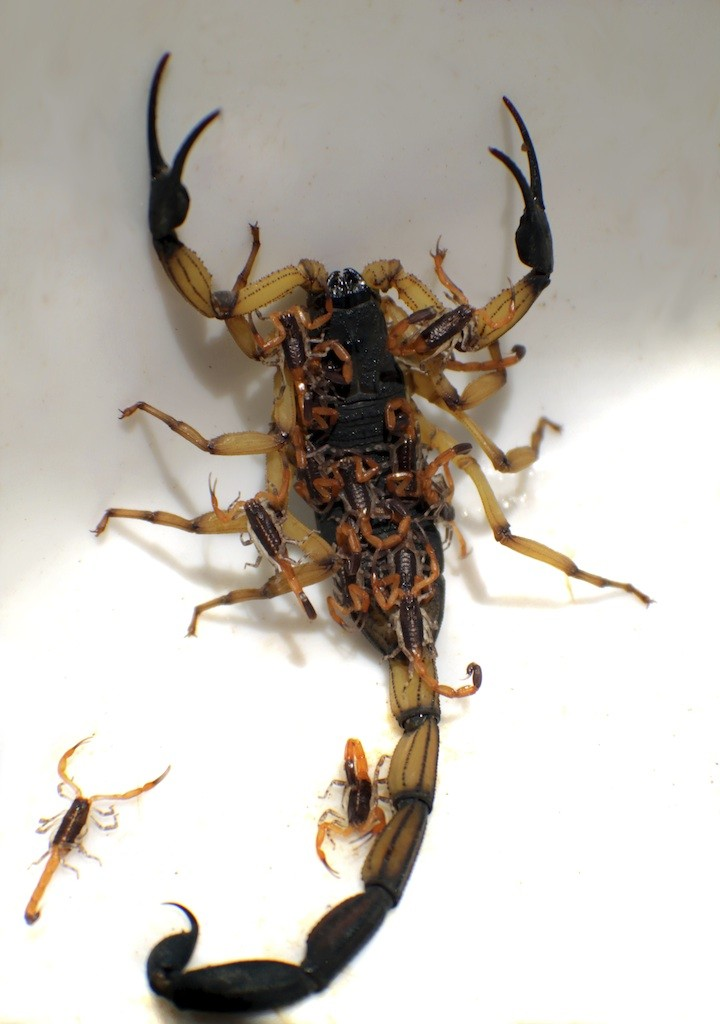 Scorpion Control And Treatments For The Home Yard And Garden