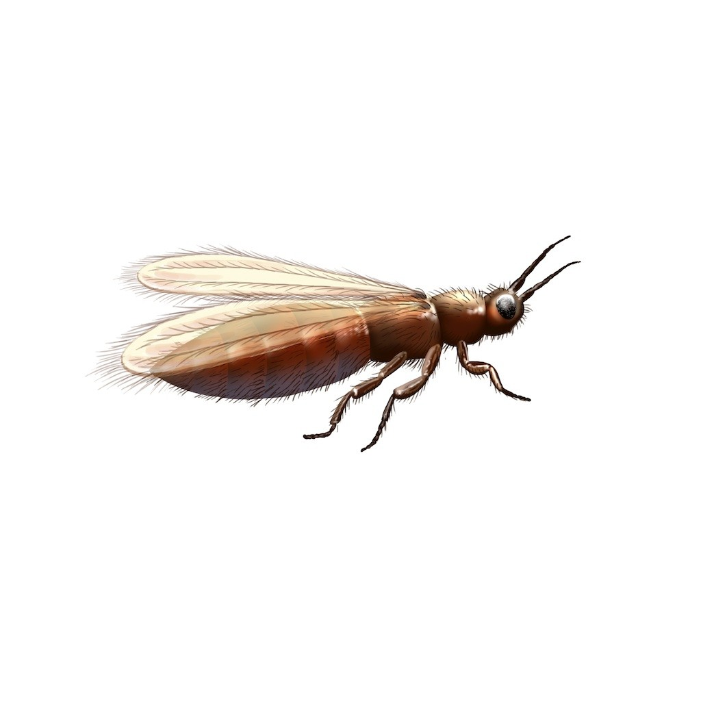 Thrips are small insects  measuring about 1 25 to 1 8 of an inch long  They  range in color from clear to white to yellow to brown to black. thrip control and treatments for the home yard and garden