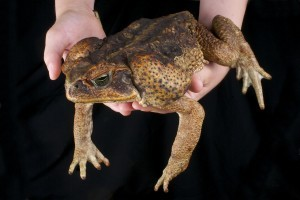 BUFO CANE TOAD