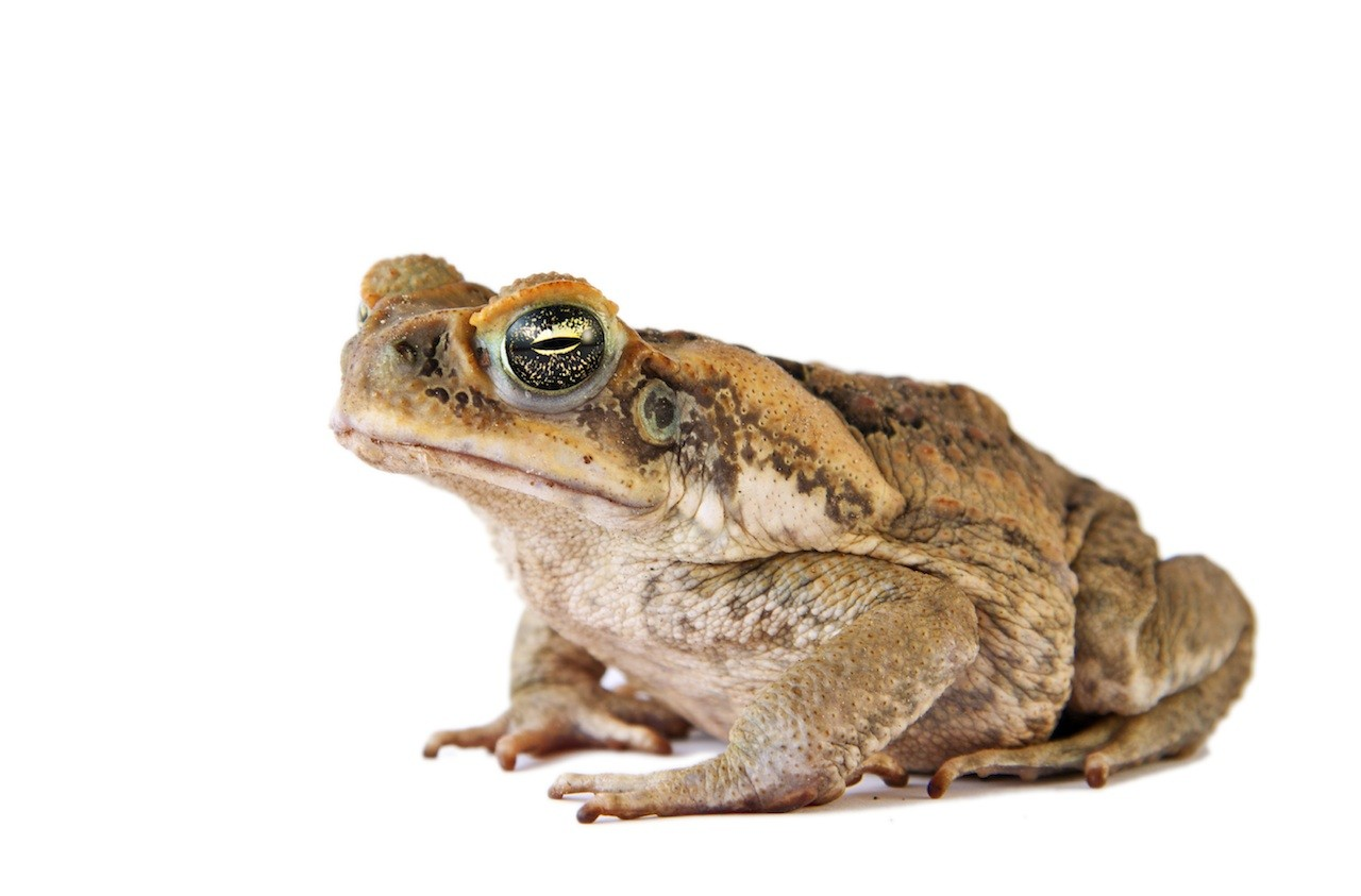 cane toad Invasive toads in australia poison predators that eat them, allowing other prey, like the crimson finch to flourish.