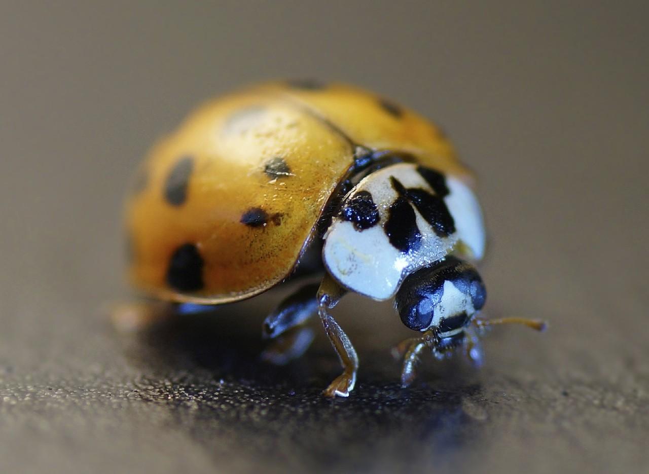 Asian ladybug pherome