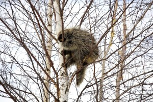 PORCUPINE EATING BIRCH TREE