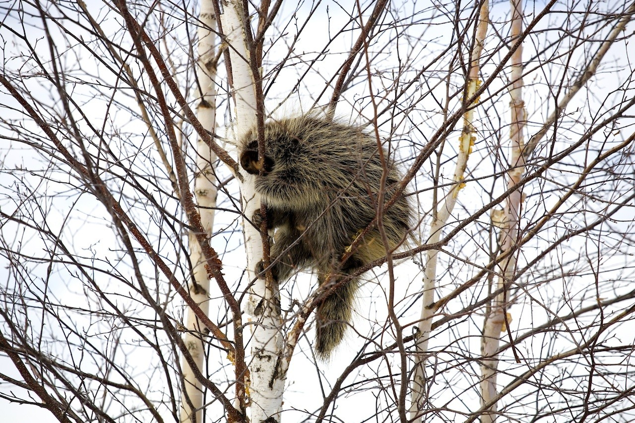 How to Repel Porcupines