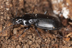 BLACK BEETLE NEST