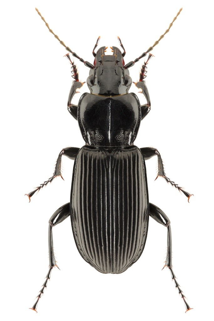 Black beetles are predatory and commonly forage for food in the dark of  night  For this reason they re many times able to go unnoticed until their  numbers. black beetle control and treatments for the home yard and garden