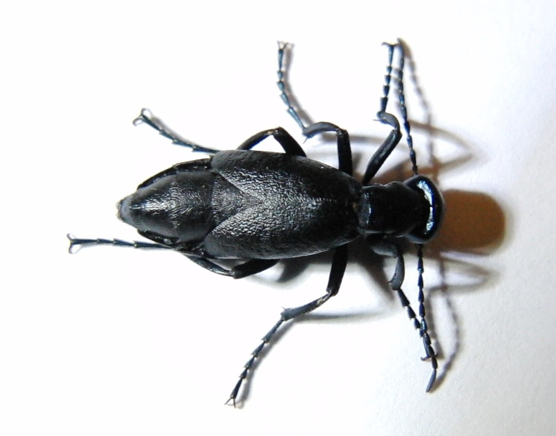 blister beetle control treatments for the yard home and garden