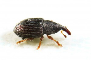 CABINET WEEVIL