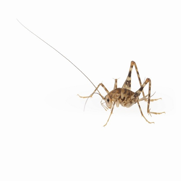 How Long Can A Cricket Live Without Food