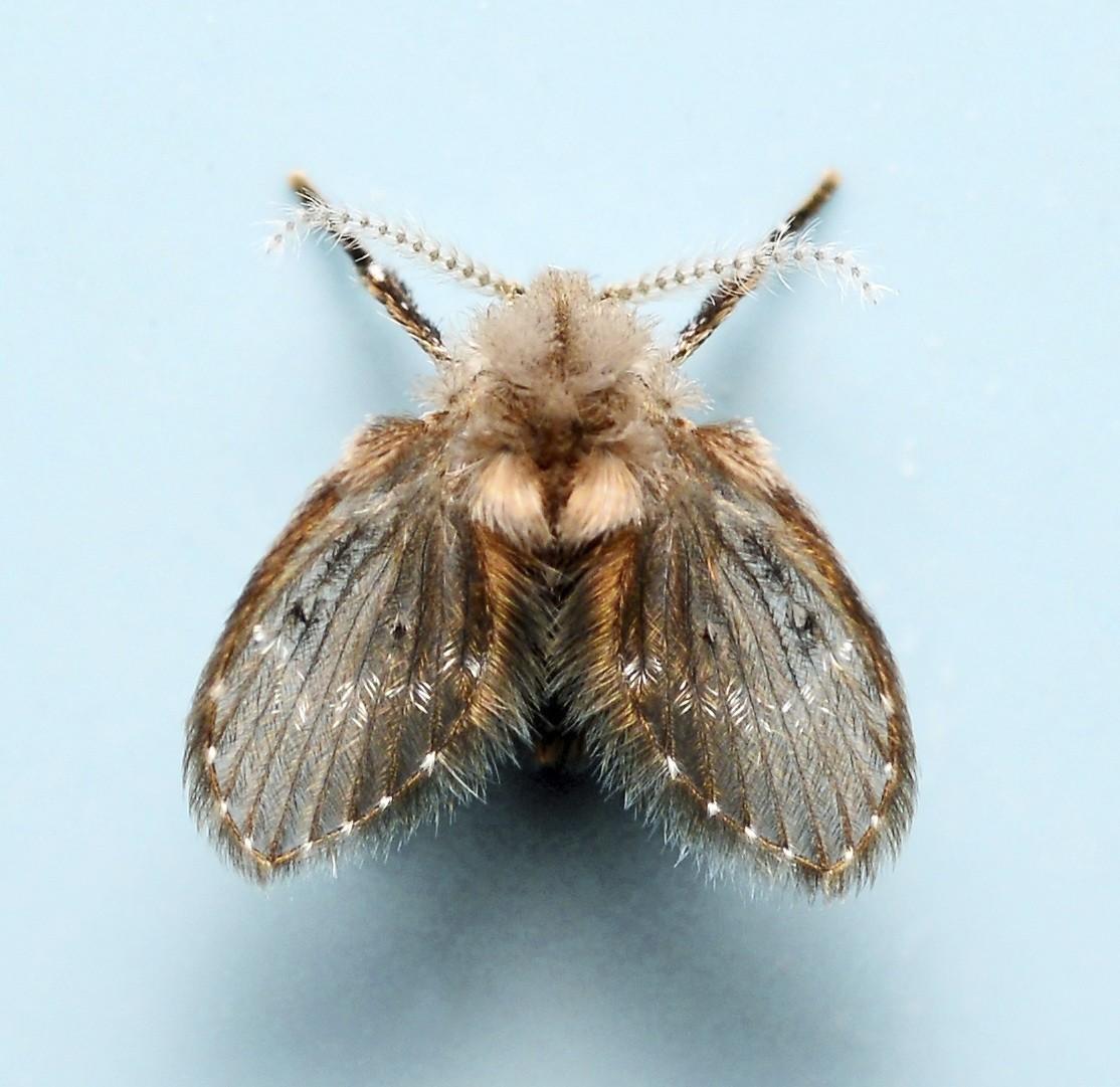 Small flies in my bathroom