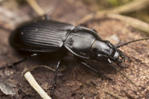 GROUND BEETLE CLOSEUP