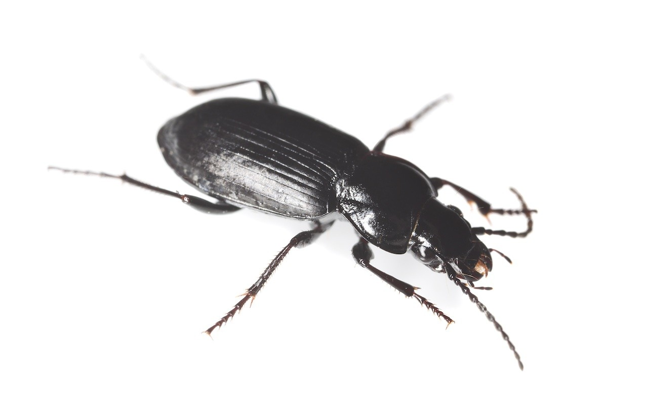 As predatory insects go  ground beetles are quite strong and can cover  large distances in relatively little time given their short body size and  lack of. black beetle control and treatments for the home yard and garden