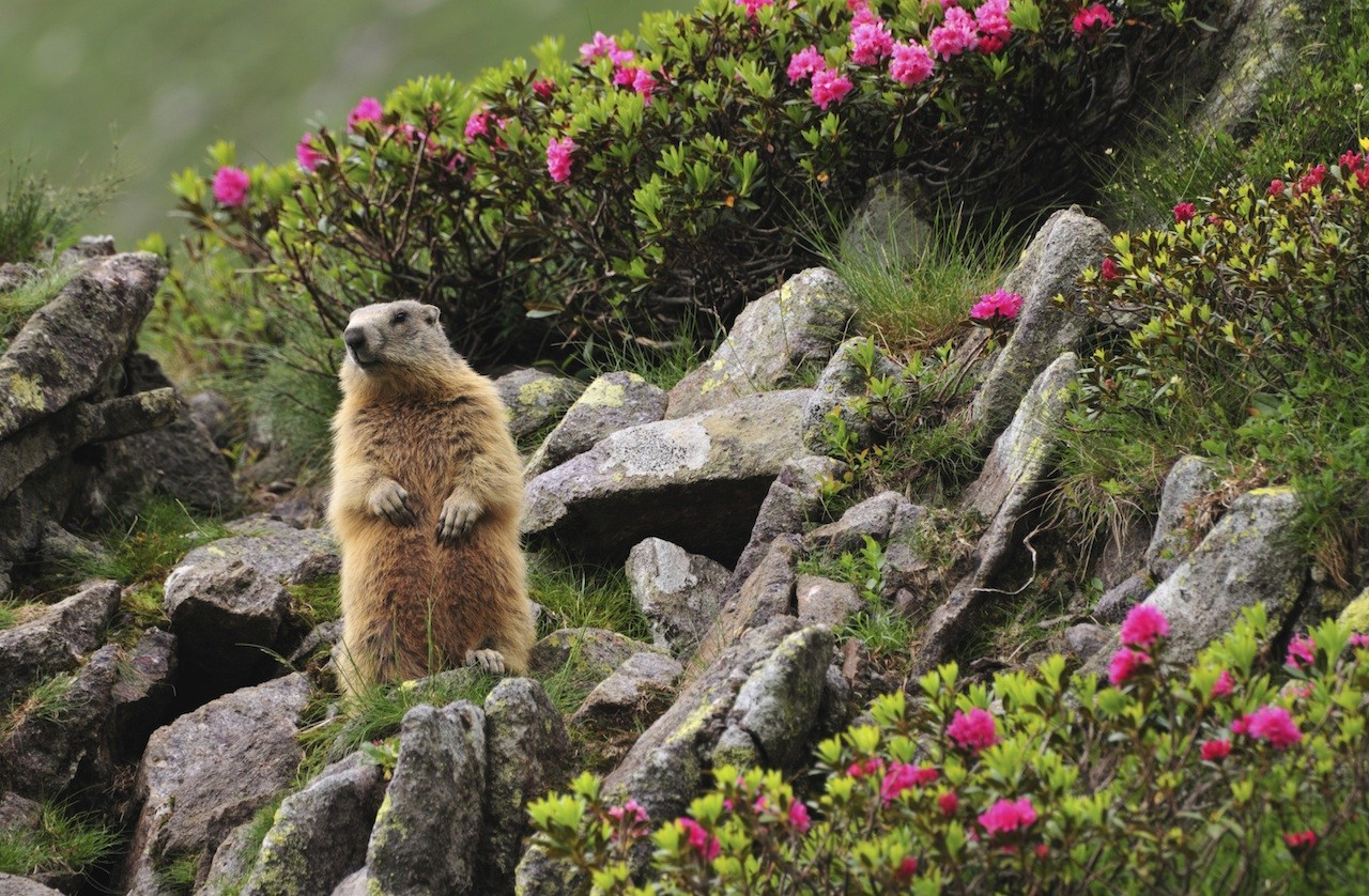 Marmot control and repellent treatments for the yard home ...