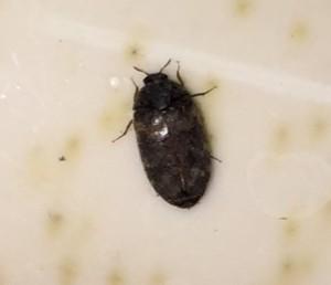 Warehouse Beetle